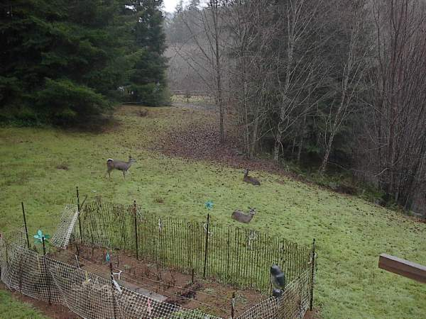 Deer Waiting for Garden Snacks.jpg