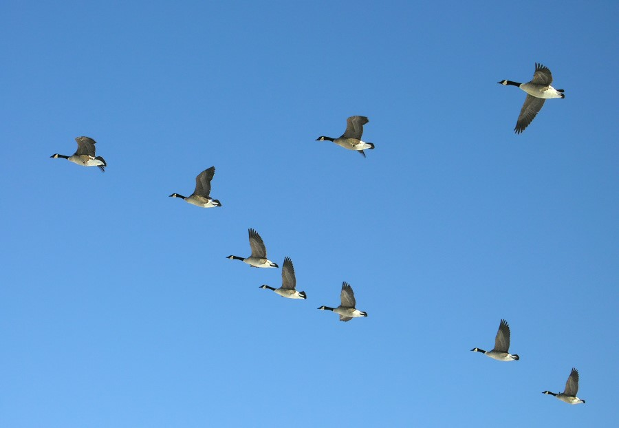 Geese Flying North 2.jpg